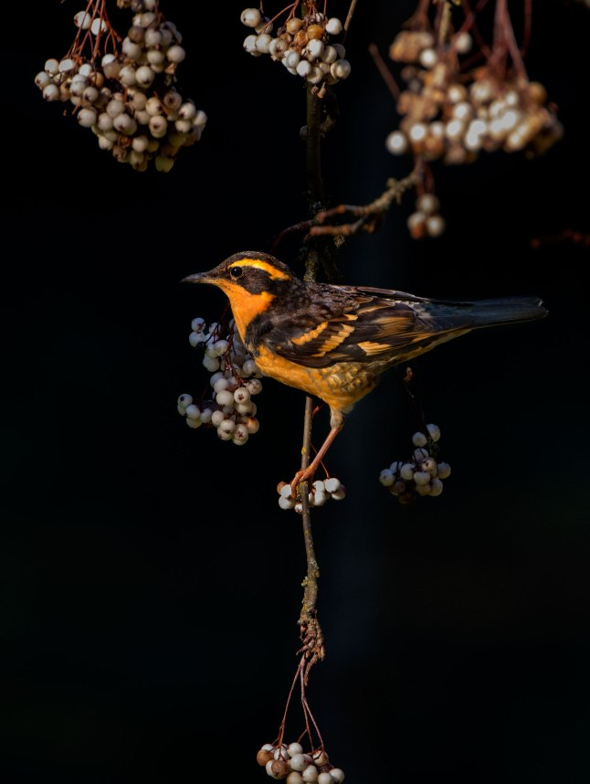 web-heatherroskelley_variedthrush_amateur